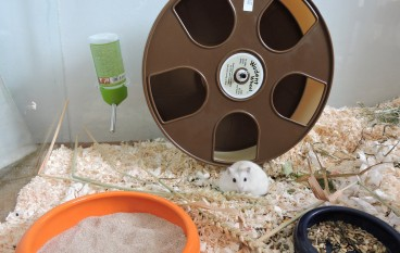 Der schlaue Hamster sucht sich ein Rad, das er liebt