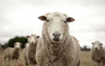 Ein Volk voller Schafe? – Bildungssystem kritisch gedacht